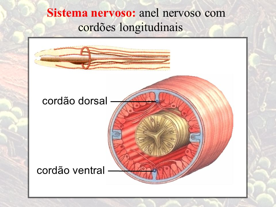 cordões longitudinais