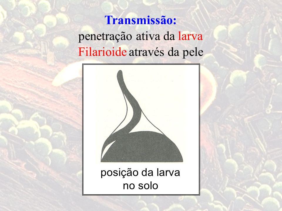 Transmissão: penetração ativa da larva Filarioide através da pele