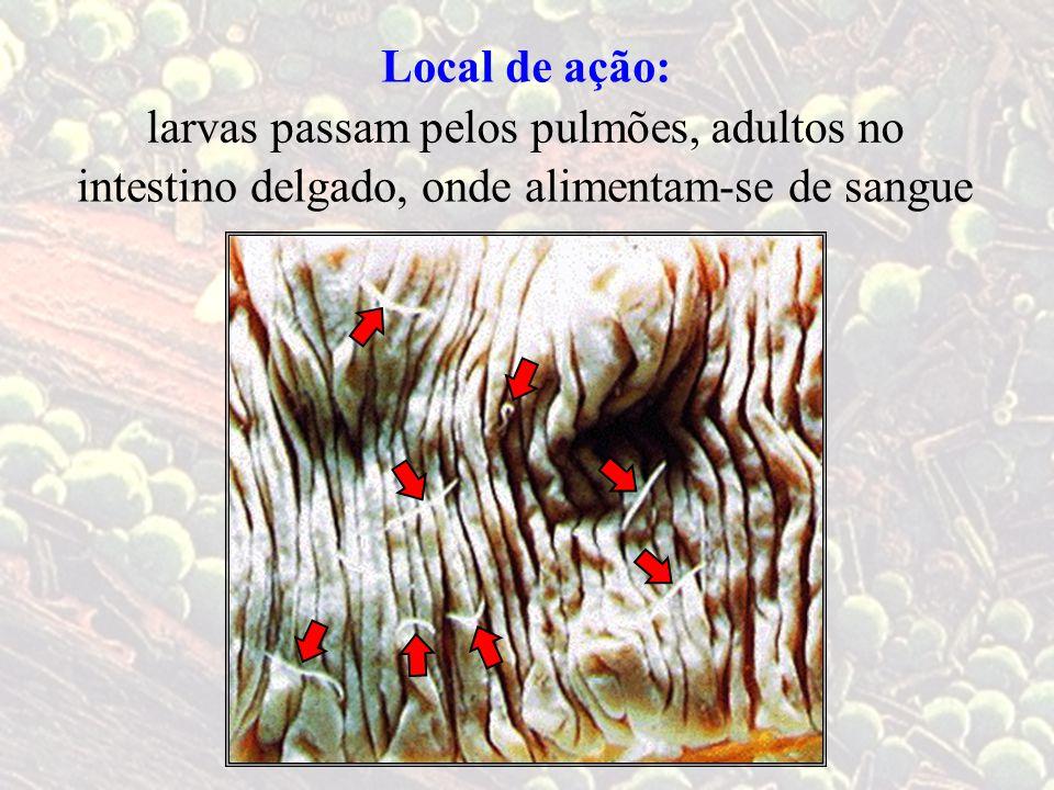 Local de ação: larvas passam pelos pulmões, adultos no.