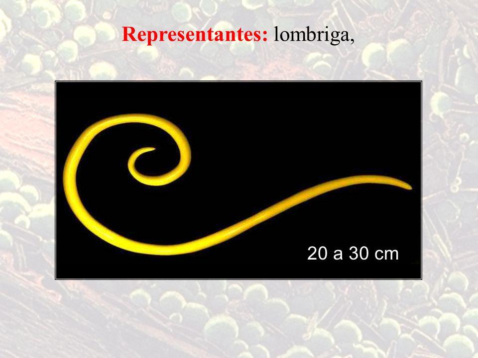 Representantes: lombriga, 20 a 30 cm