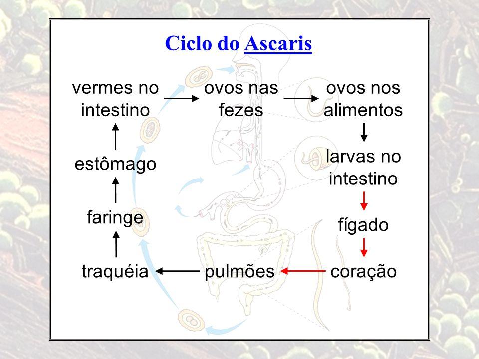 Ciclo do Ascaris vermes no intestino ovos nas fezes ovos nos alimentos