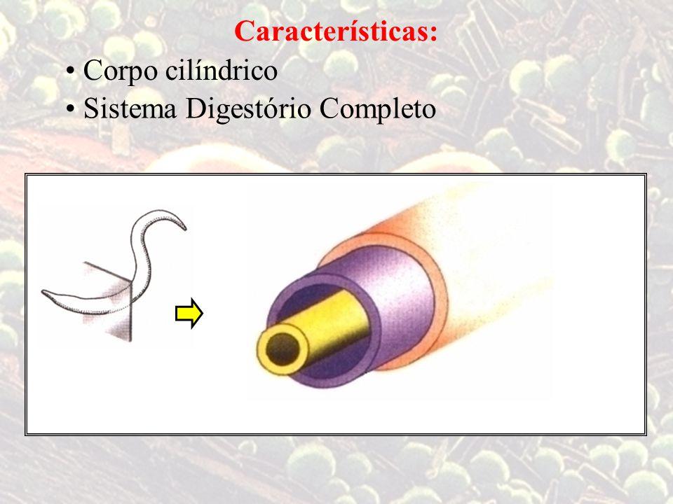 Características: • Corpo cilíndrico • Sistema Digestório Completo