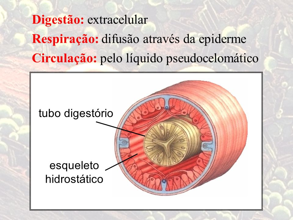 difusão através da epiderme Circulação: pelo líquido pseudocelomático