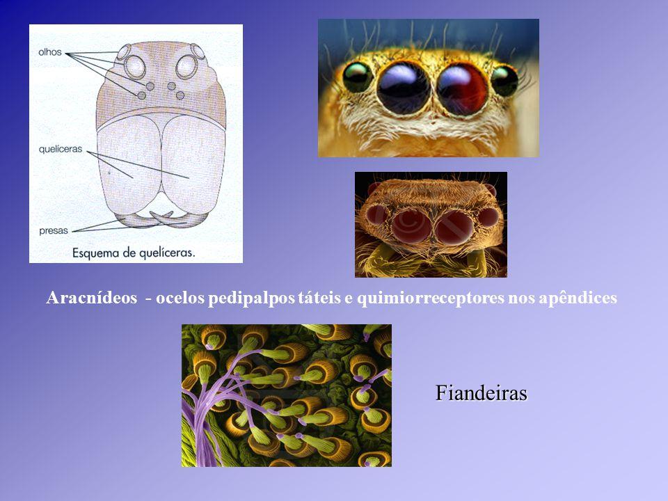 Aracnídeos - ocelos pedipalpos táteis e quimiorreceptores nos apêndices