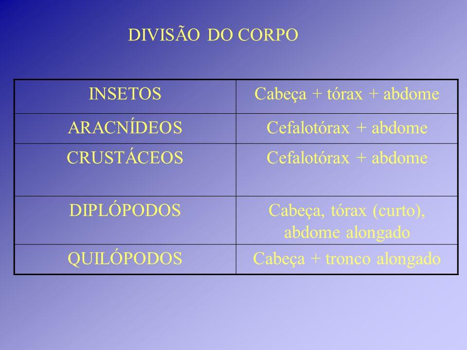 Cabeça, tórax (curto), abdome alongado QUILÓPODOS