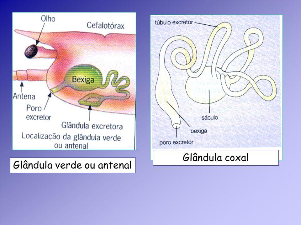 Glândula coxal Glândula verde ou antenal