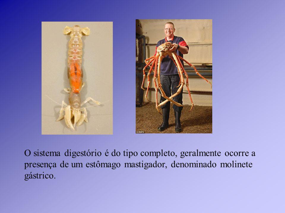 O sistema digestório é do tipo completo, geralmente ocorre a presença de um estômago mastigador, denominado molinete gástrico.