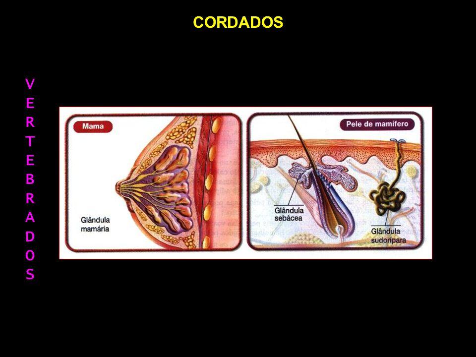 CORDADOS CLASSE MAMMALIA = É FORMADA POR ANIMAIS QUE POSSUEM GLÂNDULAS (MAMÁRIAS E SUDORÍPARAS).