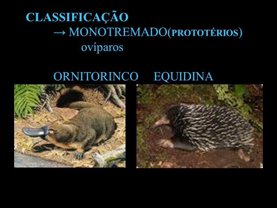 CLASSIFICAÇÃO → MONOTREMADO(PROTOTÉRIOS) ovíparos ORNITORINCO EQUIDINA
