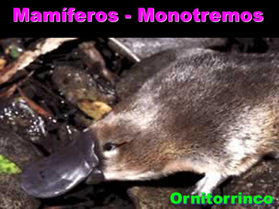 Mamíferos - Monotremos