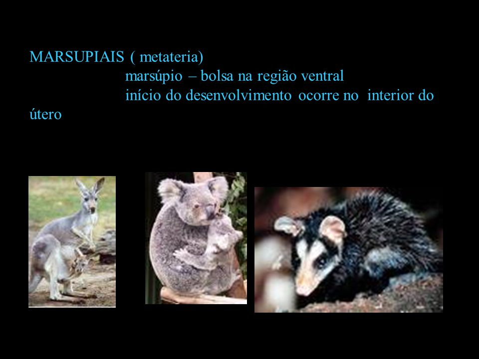 MARSUPIAIS ( metateria)