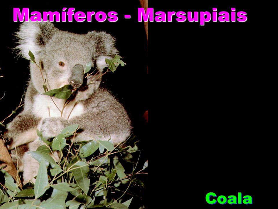 Mamíferos - Marsupiais