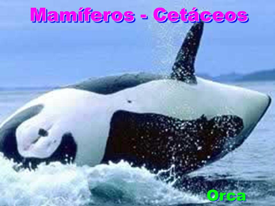 Mamíferos - Cetáceos Orca