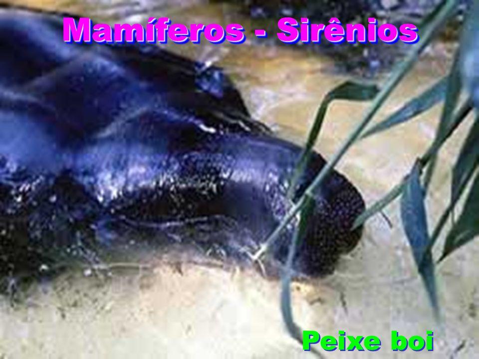 Mamíferos - Sirênios Peixe boi