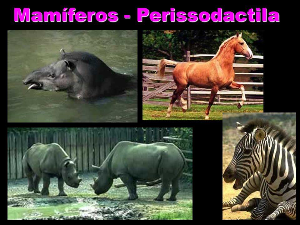 Mamíferos - Perissodactila