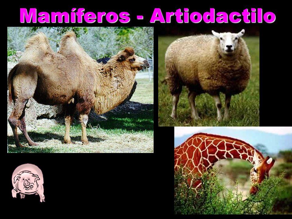 Mamíferos - Artiodactilo