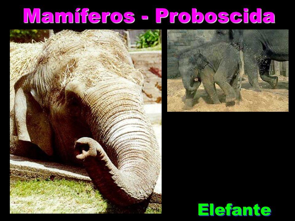 Mamíferos - Proboscida