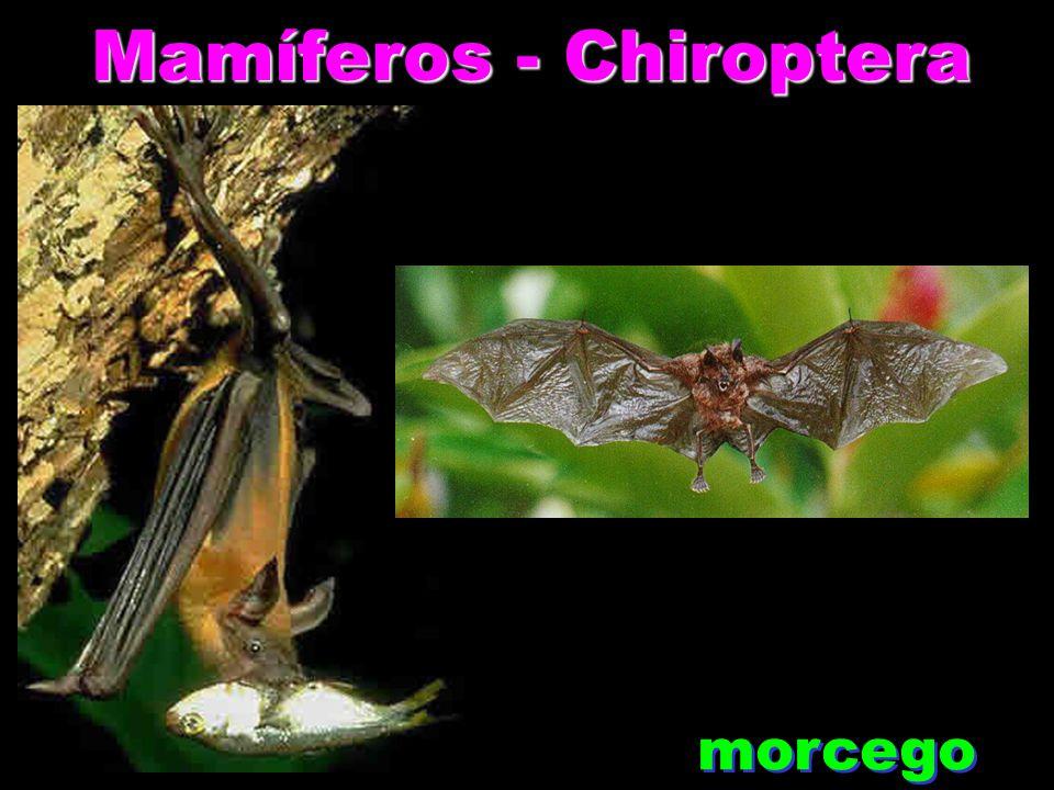 Mamíferos - Chiroptera