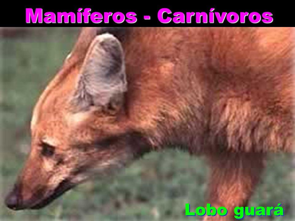 Mamíferos - Carnívoros