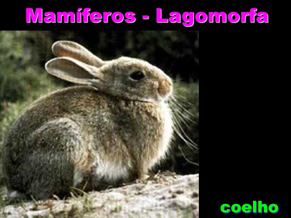 Mamíferos - Lagomorfa coelho