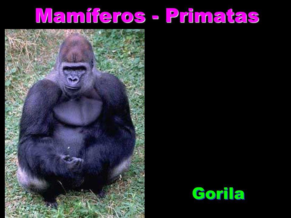 Mamíferos - Primatas Gorila