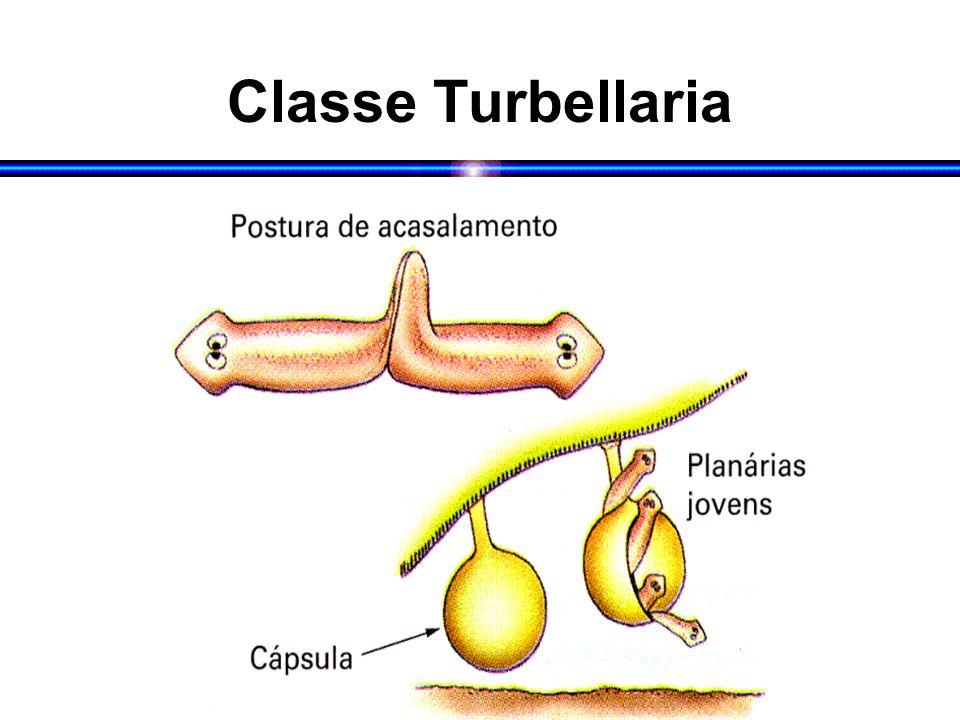 Classe Turbellaria