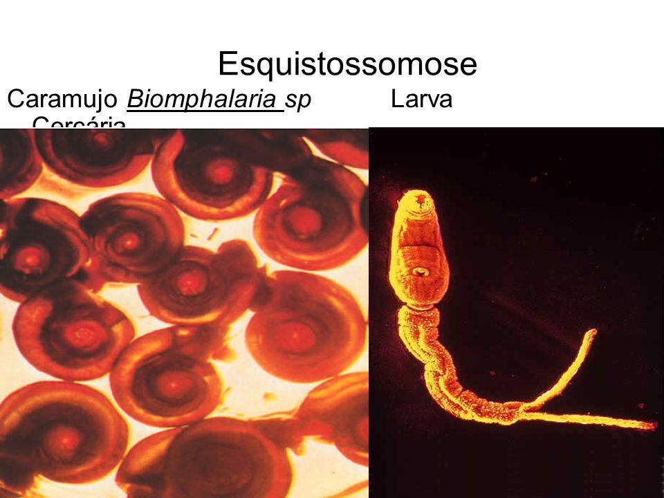 Esquistossomose Caramujo Biomphalaria sp Larva Cercária