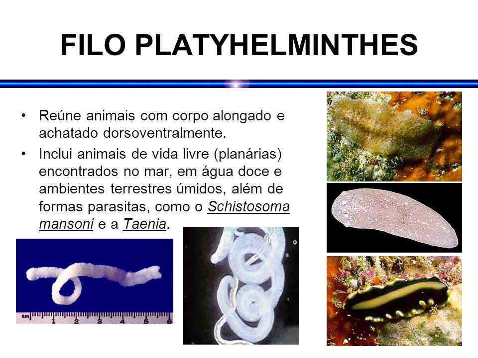 FILO PLATYHELMINTHES Reúne animais com corpo alongado e achatado dorsoventralmente.