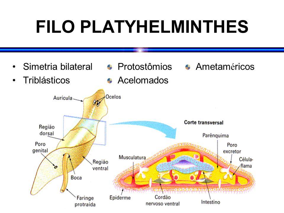FILO PLATYHELMINTHES Simetria bilateral Triblásticos Protostômios