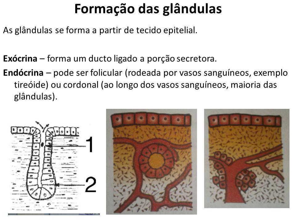 Formação das glândulas