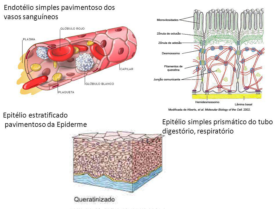 Endotélio simples pavimentoso dos