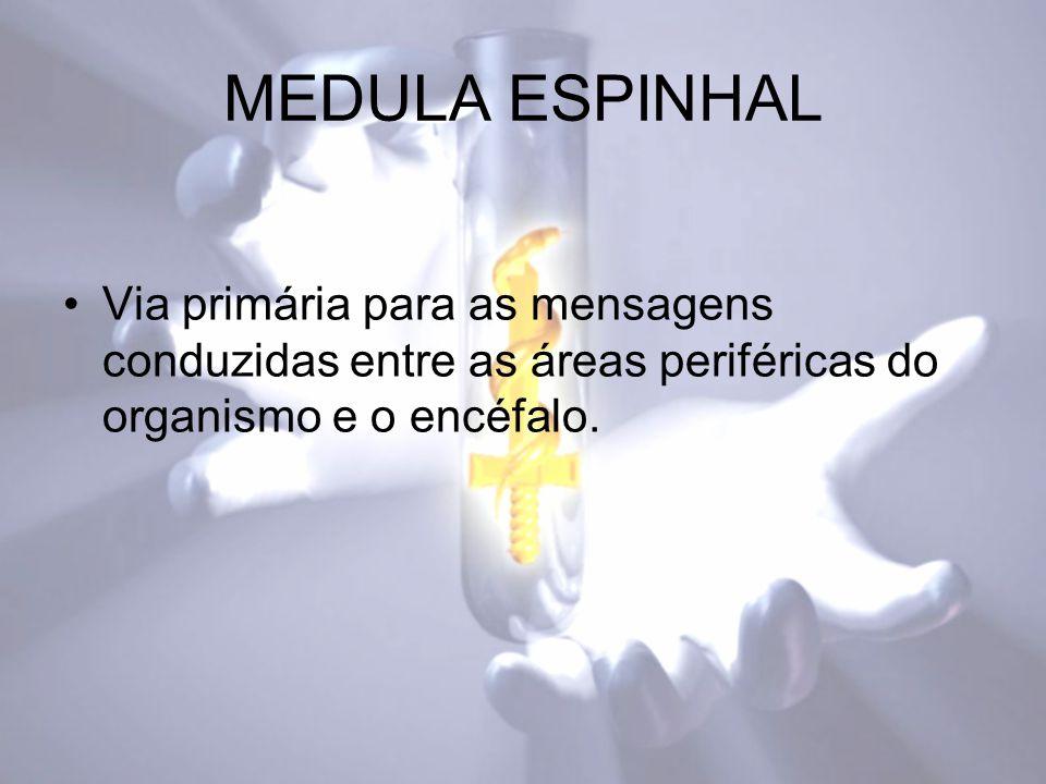 MEDULA ESPINHAL Via primária para as mensagens conduzidas entre as áreas periféricas do organismo e o encéfalo.