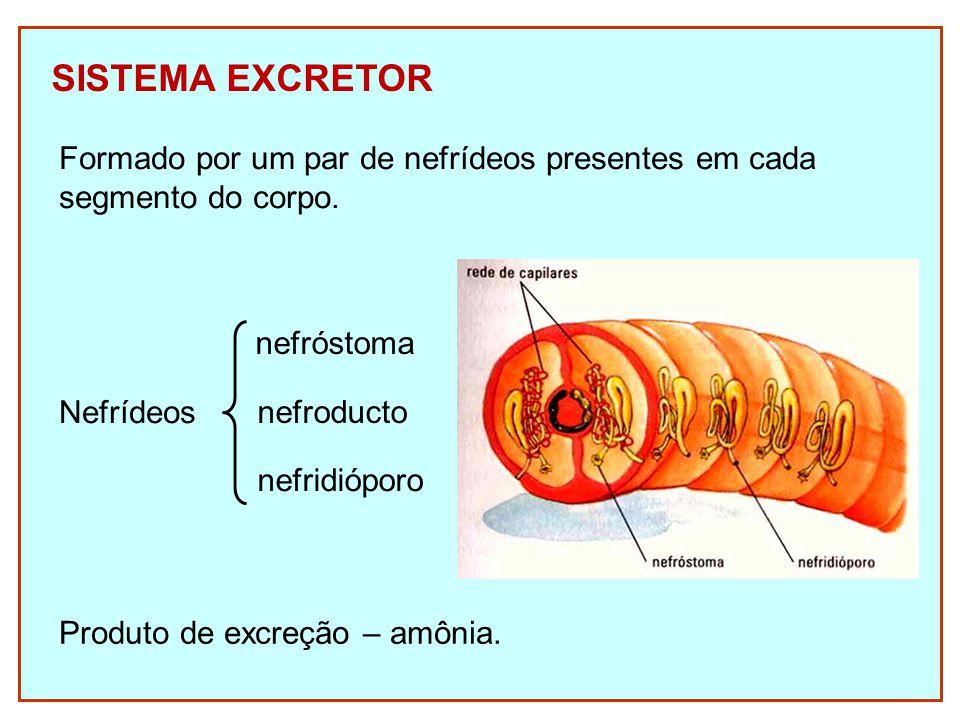 SISTEMA EXCRETOR Formado por um par de nefrídeos presentes em cada