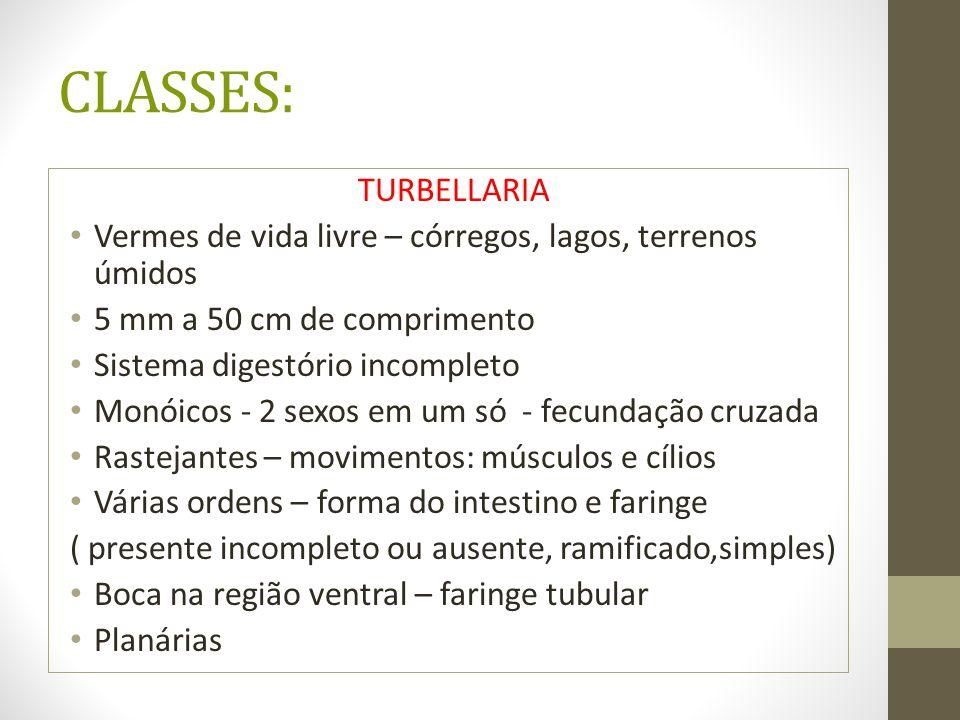 CLASSES: TURBELLARIA. Vermes de vida livre – córregos, lagos, terrenos úmidos. 5 mm a 50 cm de comprimento.