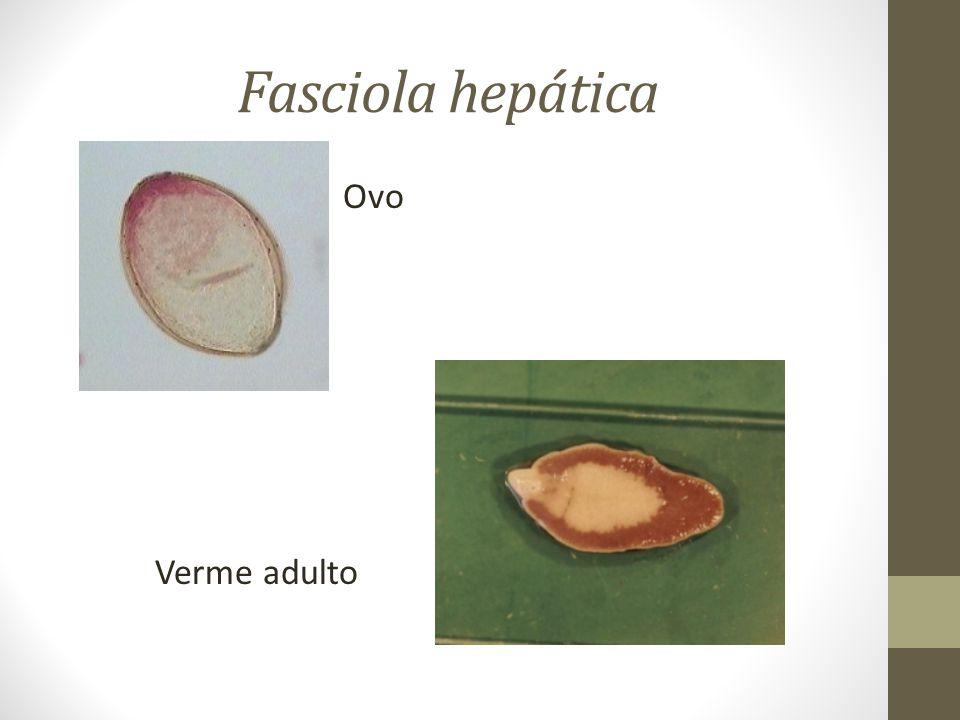 Fasciola hepática Ovo Verme adulto