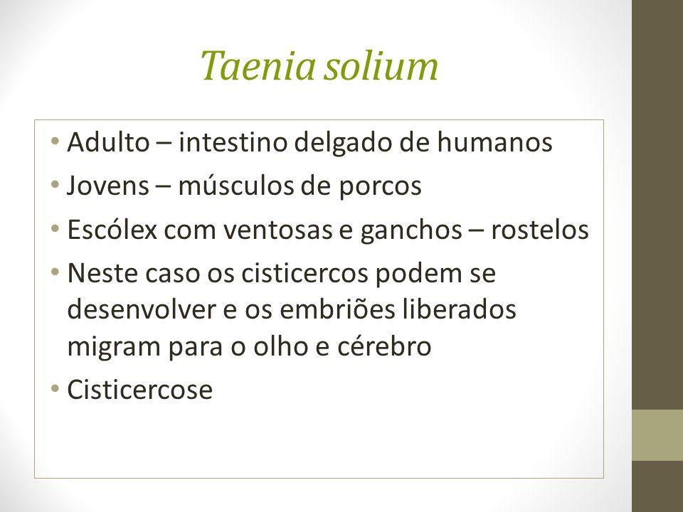 Taenia solium Adulto – intestino delgado de humanos