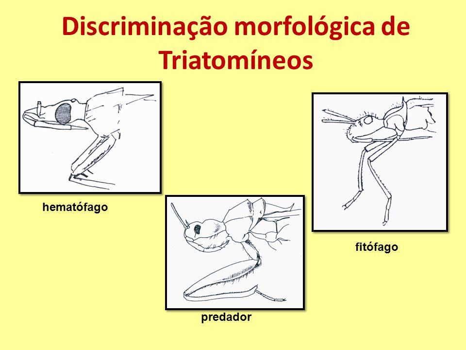Discriminação morfológica de Triatomíneos