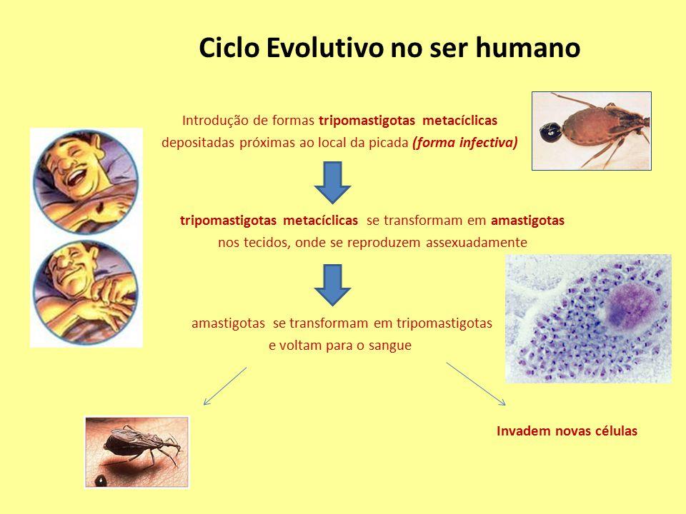 amastigotas se transformam em tripomastigotas e voltam para o sangue