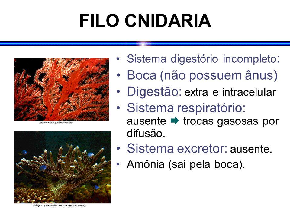 FILO CNIDARIA Boca (não possuem ânus) Digestão: extra e intracelular