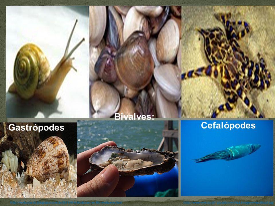 Bivalves: Cefalópodes Gastrópodes