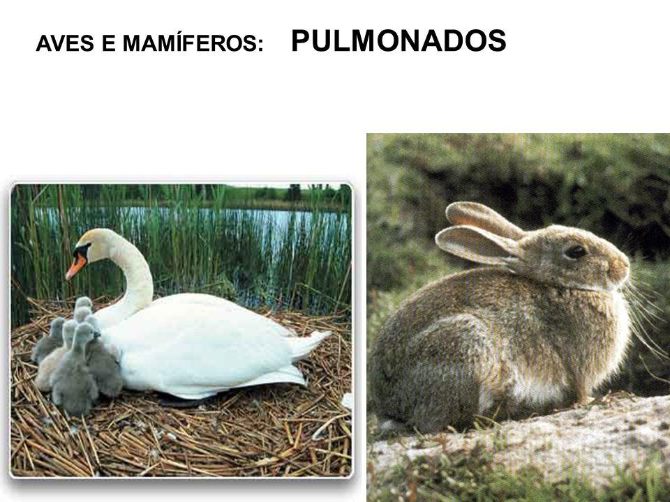 AVES E MAMÍFEROS: PULMONADOS