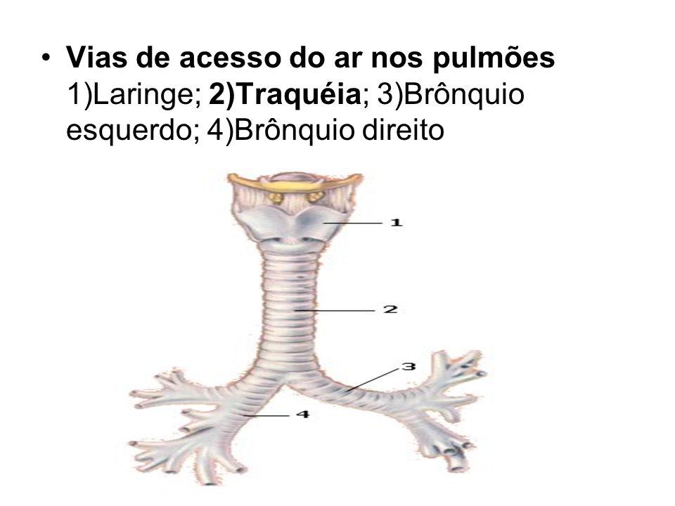 Vias de acesso do ar nos pulmões 1)Laringe; 2)Traquéia; 3)Brônquio esquerdo; 4)Brônquio direito