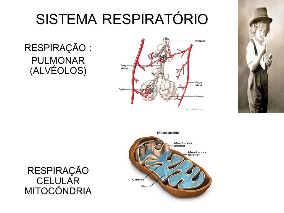 RESPIRAÇÃO : PULMONAR (ALVÉOLOS) RESPIRAÇÃO CELULAR MITOCÔNDRIA