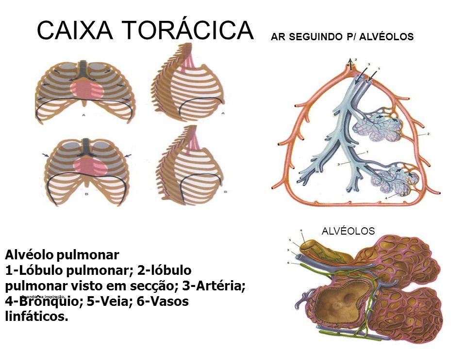 CAIXA TORÁCICA AR SEGUINDO P/ ALVÉOLOS. ALVÉOLOS.