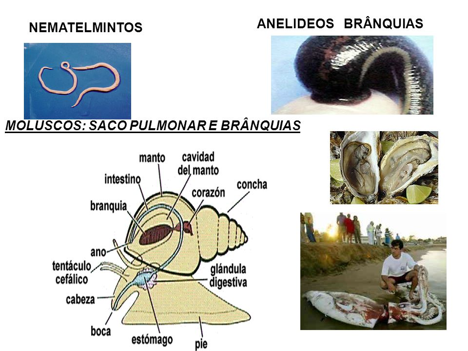 ANELIDEOS BRÂNQUIAS NEMATELMINTOS MOLUSCOS: SACO PULMONAR E BRÂNQUIAS