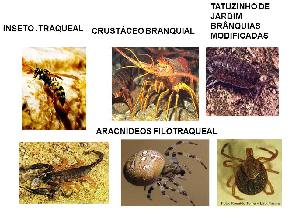 TATUZINHO DE JARDIM BRÂNQUIAS MODIFICADAS. INSETO .TRAQUEAL.