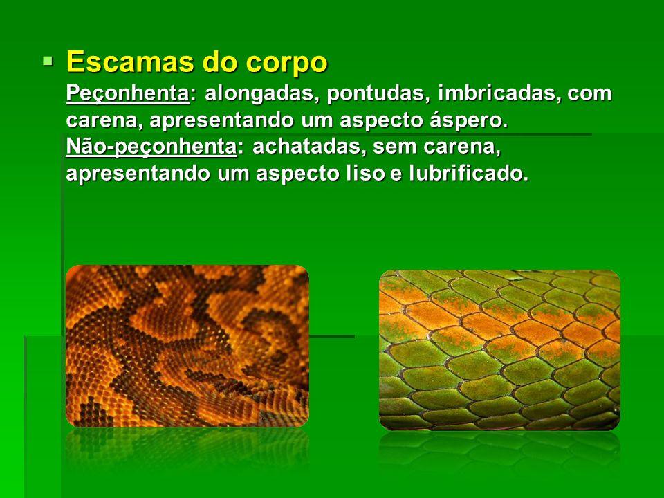 Escamas do corpo Peçonhenta: alongadas, pontudas, imbricadas, com carena, apresentando um aspecto áspero.