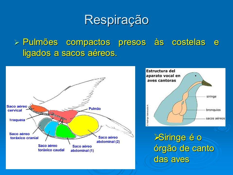Respiração Pulmões compactos presos às costelas e ligados a sacos aéreos.
