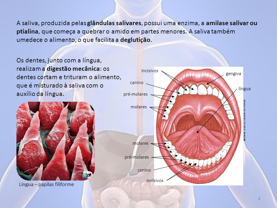 A saliva, produzida pelas glândulas salivares, possui uma enzima, a amilase salivar ou ptialina, que começa a quebrar o amido em partes menores. A saliva também umedece o alimento, o que facilita a deglutição.