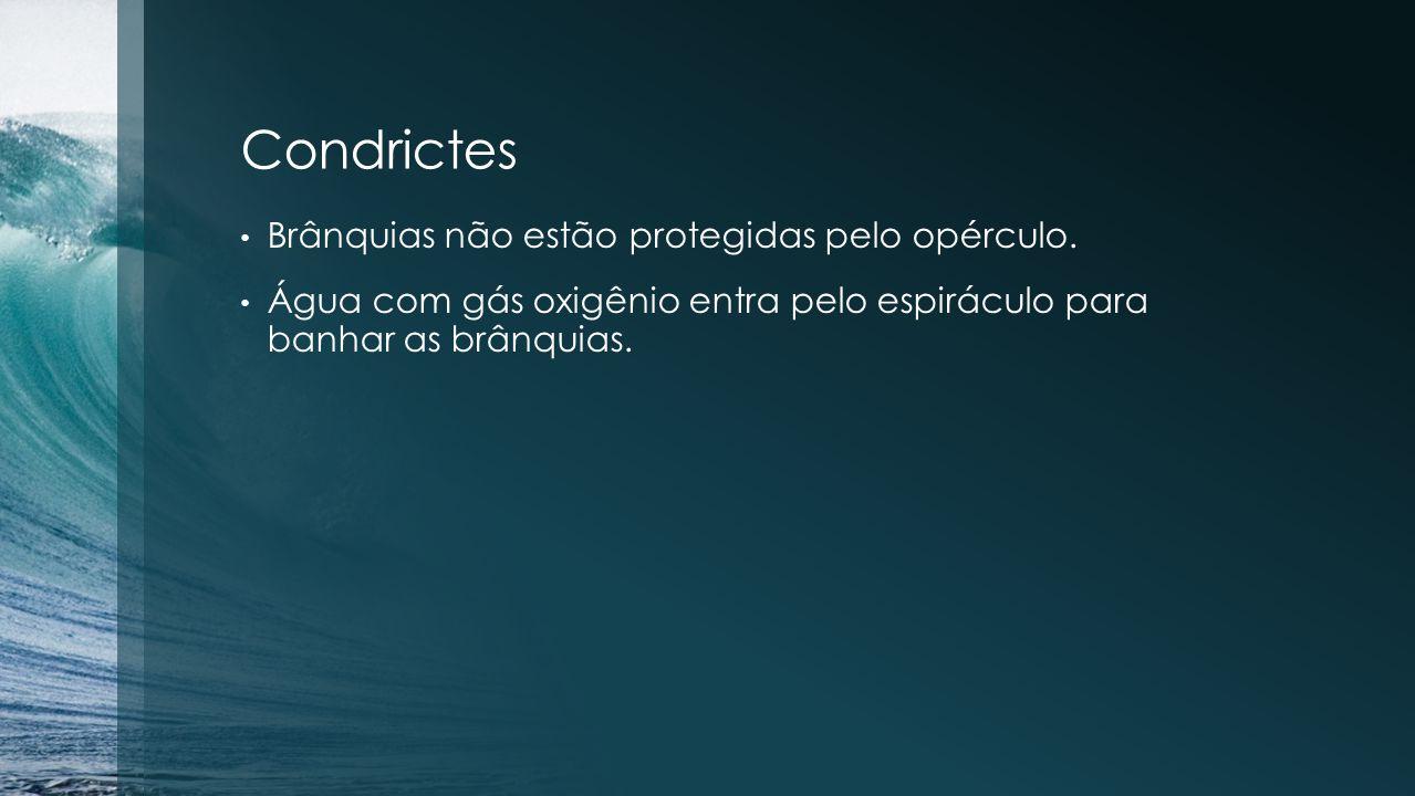 Condrictes Brânquias não estão protegidas pelo opérculo.